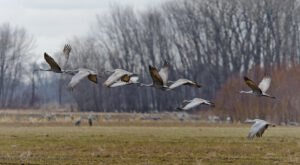 See Thousands Of Sandhill Cranes As They Migrate Through Indiana's Marshes At Jasper-Pulaski Wildlife Area