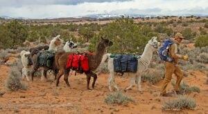 You Can Go Camping With Alpacas At Llama2boot LLC in Utah