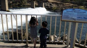 Watch In Awe As Thousands Of Chinook Salmon Make Their Seasonal Return To This Fish Hatchery In Northern California