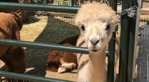 Cuddle The Most Adorable Rescued Farm Animals At The Farm At Gardner Village In Utah