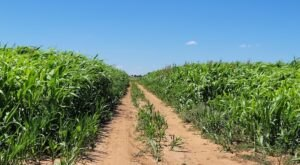 This Corn Maze In New Mexico Has The Coolest Design And You Need To Explore It