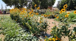 The Sunflower Festival At Mortimer Farms In Arizona Is A Bright And Sunny Day Trip Destination