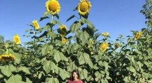 Walk Through 1.5 Acres Of Sunflowers At The Sweet Eats Fruit Farm Sunflower Festival, The Most Beautiful Festival In Texas