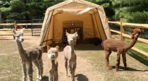 Spend A Night With Adorable Alpacas At This Gorgeous New Jersey Farmhouse