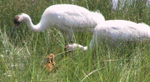 See The Home Of Rare Whooping Cranes At the Enormous Necedah National Wildlife Refuge In Wisconsin