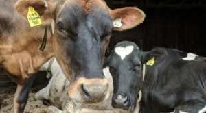 See Cows Milk Themselves At A Remarkable Wisconsin Robotic Dairy Farm