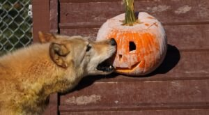 Camp With Wolves This Halloween At Saint Francis Wolf Sanctuary In Texas