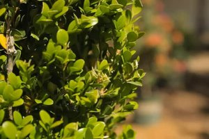 Fertilizing Boxwood