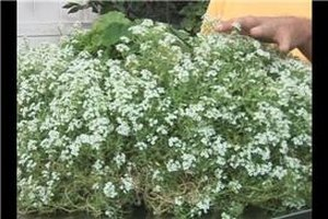 Alyssum Plant Care