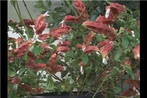 Shrimp Plant Care