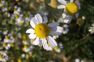 How to Grow and Prepare Chamomile for Tea