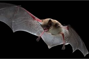 How Do Bats Communicate?