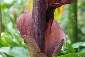 What Is Amorphophallus Konjac?