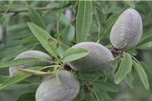 How to Harvest & Store Almonds