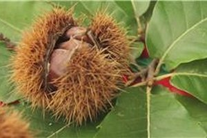 How to Harvest & Store Chestnuts