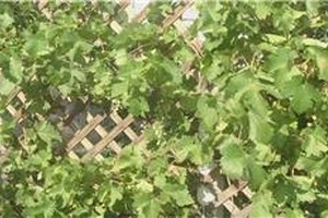 How to Prune Grape Vines in the 1st Year