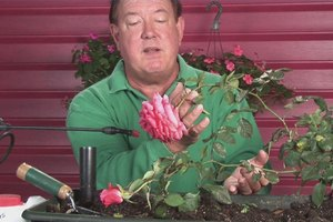 How to Revive Droopy-Headed Roses