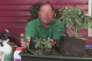 How to Grow Roses From Tip Cuttings