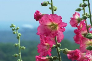 How to Cut Back Hollyhocks