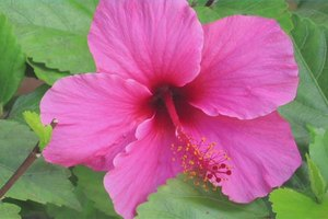 How to Transplant & Care for Hibiscus