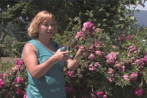 How to Grow Knock Out Roses From Clippings