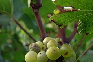 How to Freeze Grapes for Wine Making