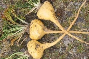 How to Gain Weight With Maca Root