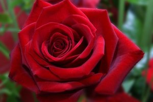 Roses always set the mood. A red rose symbolizes love.