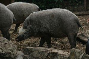 Hog Hunting in Florida