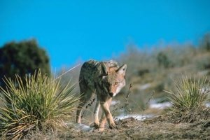 How to Use Snares for Coyotes