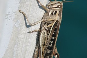 Why Is a Cricket a Sign of Good Luck?