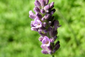 The Meaning of Lavender Flowers