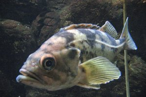 Side Effects of Stepping on Rock Fish