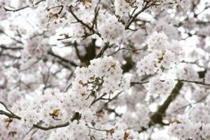 Cherry trees look beautiful when they bloom.