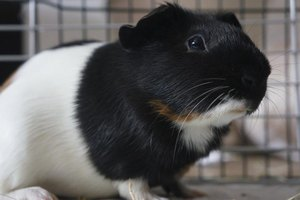 Science Fair Project Ideas Using Guinea Pigs