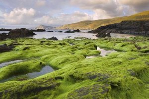The Benefits of Sea Moss
