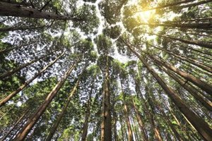 Spiritual Meaning of the Cedar Tree