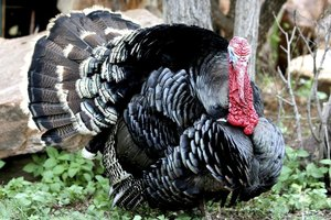 How to Use a Turkey Mouth Call