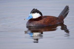 Types of Ducks in South Carolina
