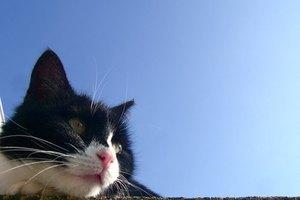 ¿Qué significa cuando tu gato tiene las orejas frías?