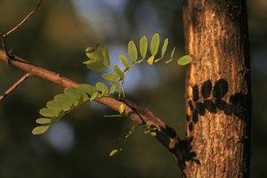 ¿Cuáles son los beneficios de la Acacia?