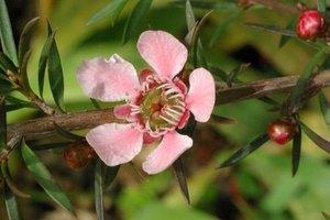 Los riesgos de usar aceite de árbol de té durante el embarazo