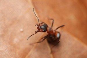 Remedios caseros para las picaduras de hormigas
