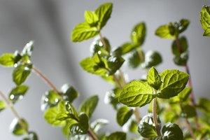Usos de las hojas de menta desecadas