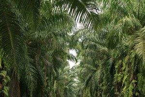 ¿Cuáles son los beneficios del aceite de palma para el cabello y la piel?