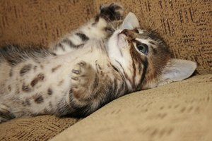 Síntomas de traumatismos craneales en gatos