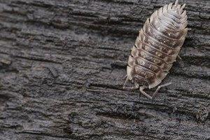 ¿Por qué las castañas tienen gusanos en su interior?