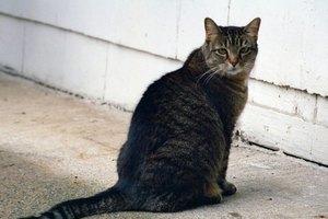Síntomas de un gato con la cola fracturada