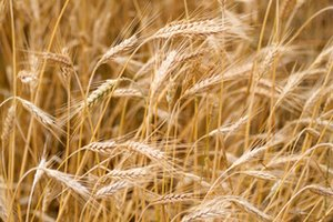 Differences Between Whole Grain Wheat and Wheat Bran