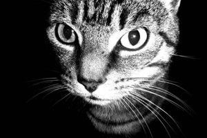 ¿Los humanos se pueden ver afectados por los ácaros de las orejas de los gatos?